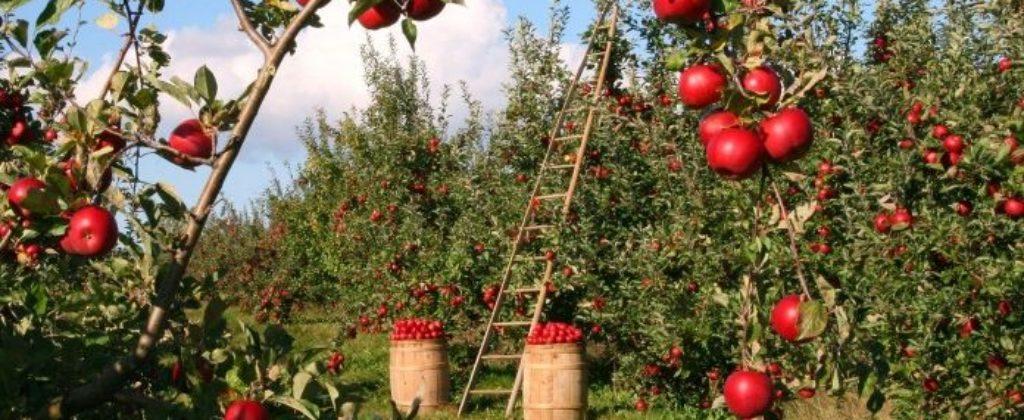 Jablkový a mirabelkový kvas