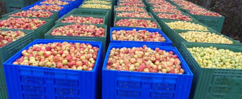 Jablká na kvas - ovocný sad Horné Lefantovce