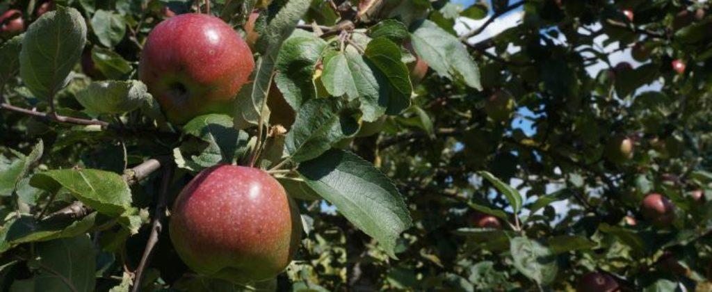 Jablká na predaj.
