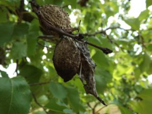 Monilióza kôstkovín - mumifikované plody