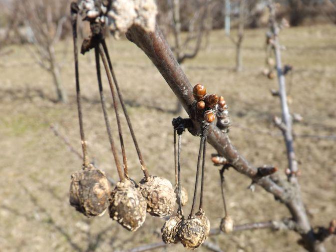 Monilióza kôstkovín - mumifikované plody višne