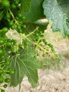 Peronospóra viniča
