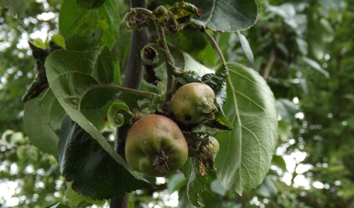 Voška jabloňová - poškodenie listov a plodov