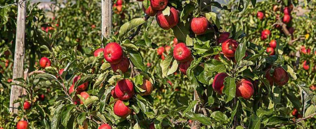 Nepriama ochrana ovocia proti chorobám a škodcom.