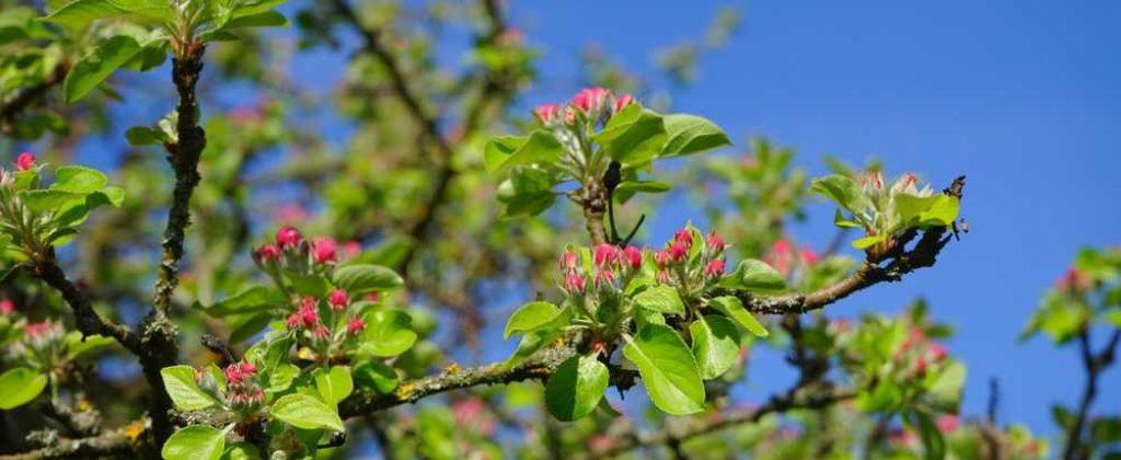 Priama ochrana ovocia proti chorobám a škodcom.