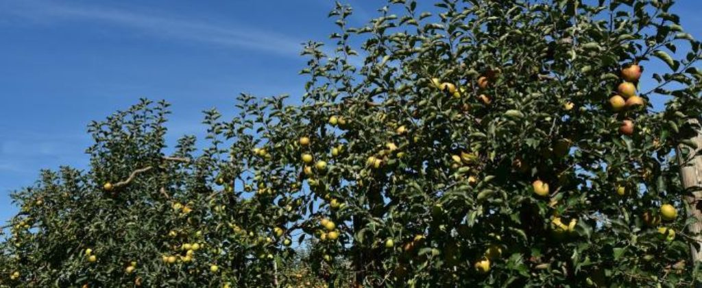 Predám jablkový sad