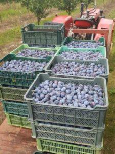 Slivky na predaj vhodné na kvas.