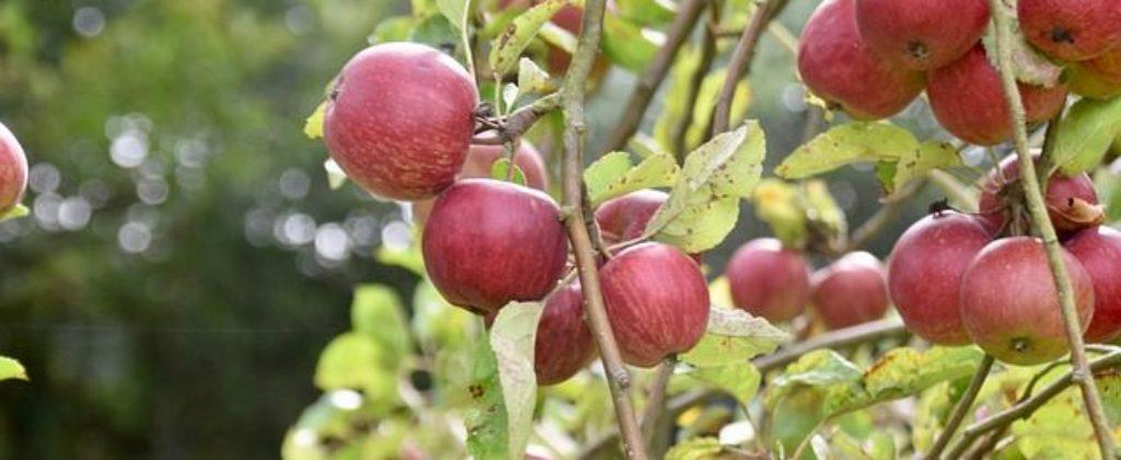 Jablkový kvas.